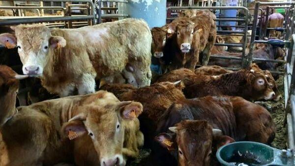 Animal Equality, insieme a ENPA, ha presentato una denuncia contro la Spagna presso la Commissione Europea per maltrattamento degli animali.